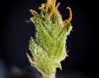 medical marijuana physician consultation